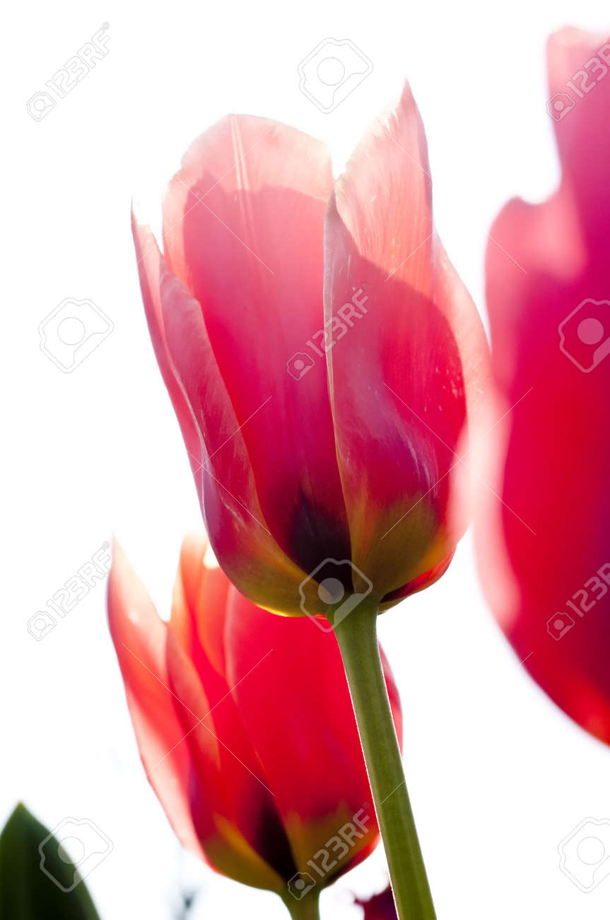 red tulips, isolated on white background, space for text Stock Photo - 6938580