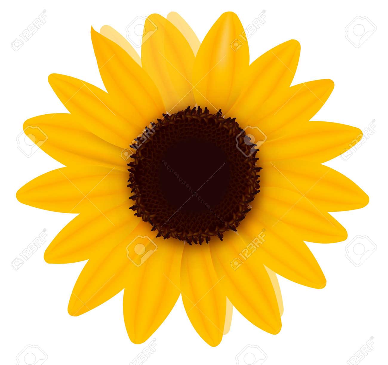 Beautiful yellow Sunflower. Vector illustration Stock Vector - 9335202