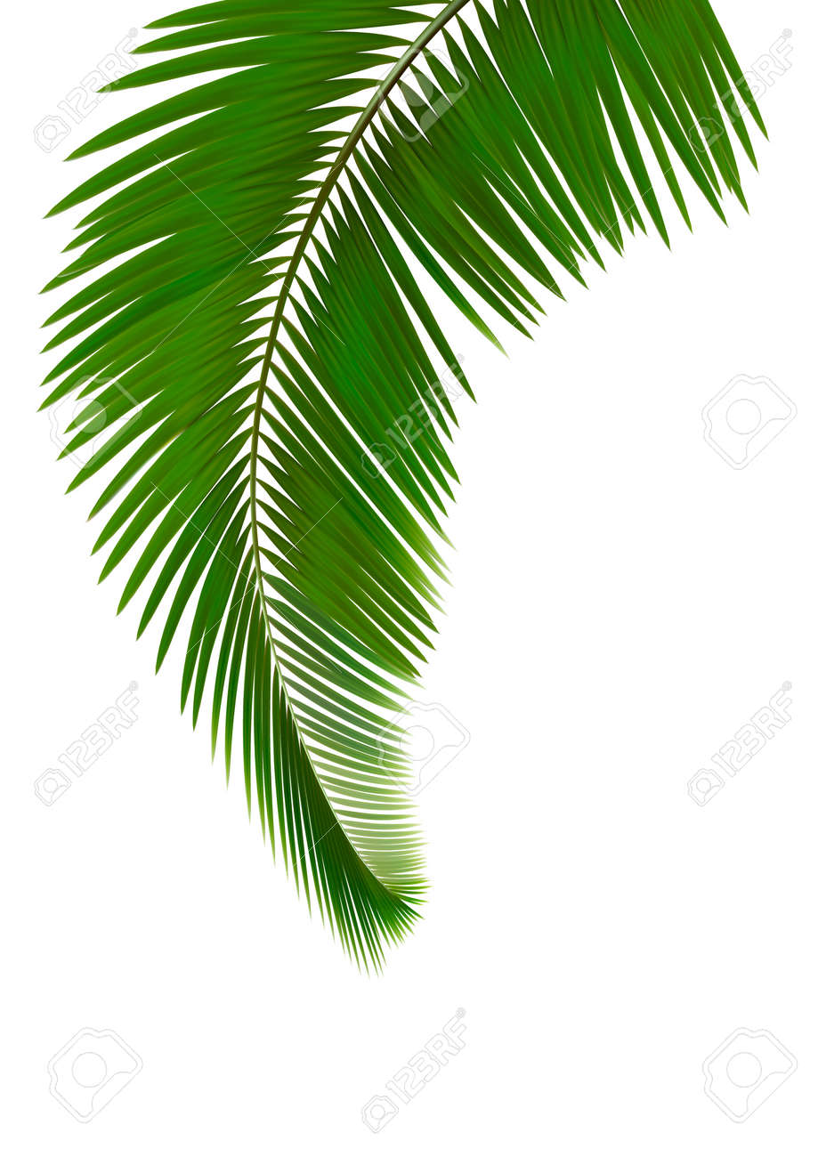 palm leaves on white background vector royalty free cliparts rh 123rf com free vector palm tree leaf palm tree leaves vector free