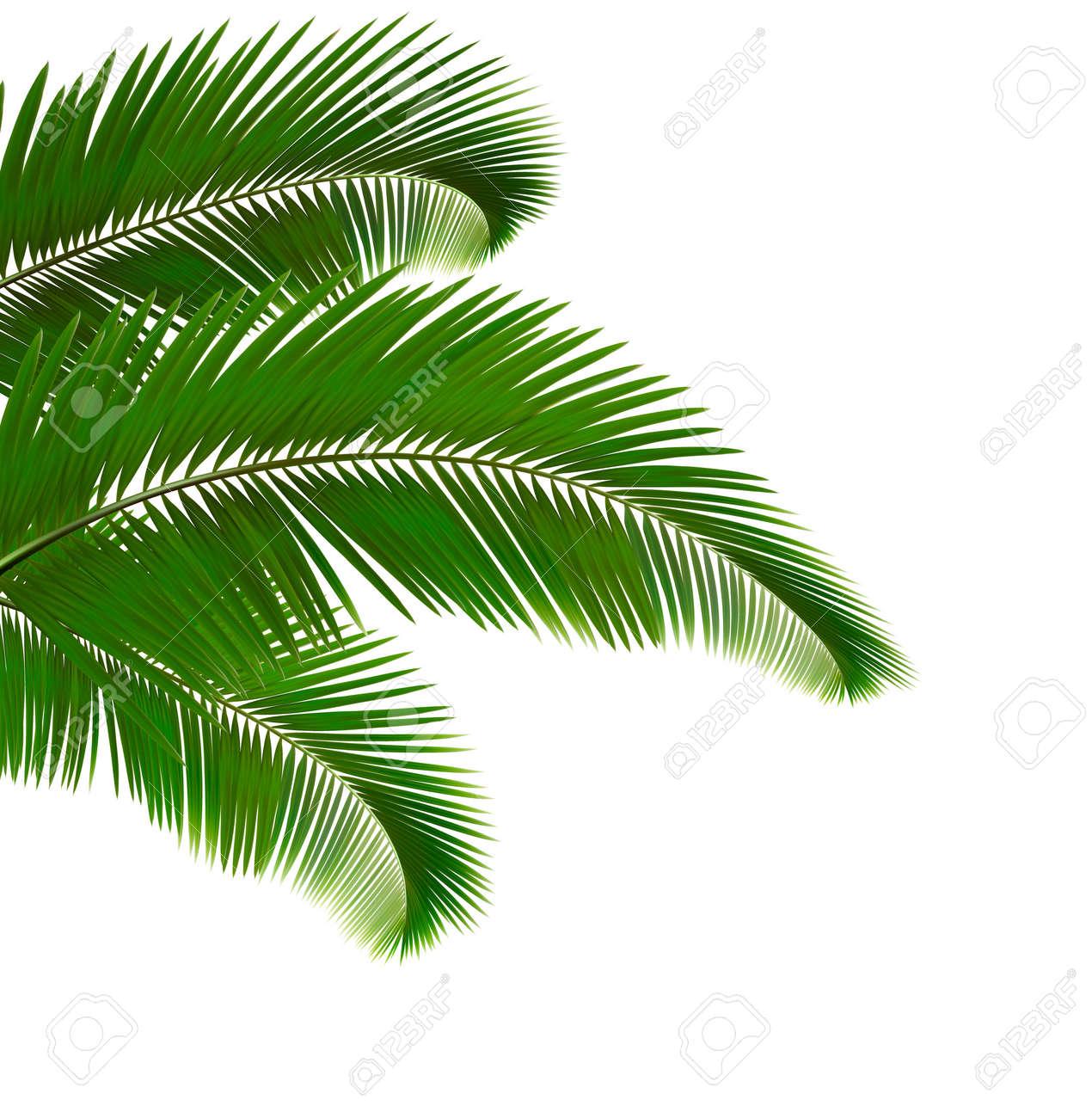 Palm leaves on white background. Vector illustration. - 18120920