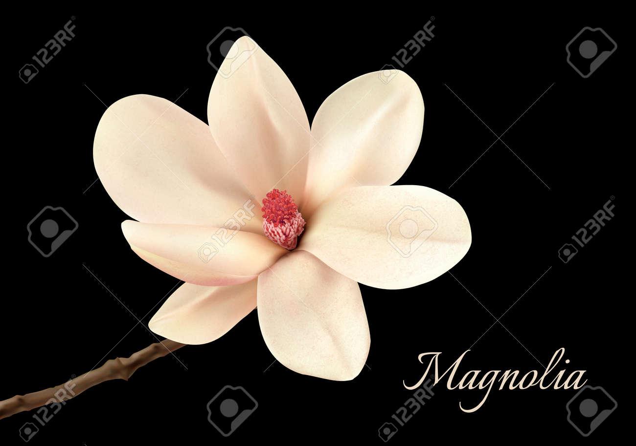 Beautiful white magnolia flower isolated on a black background beautiful white magnolia flower isolated on a black background vector stock vector 52440186 mightylinksfo Images