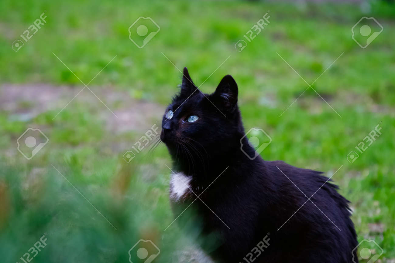 Beautiful Black Cat With Light Blue Eyes Is Dreaming About Some