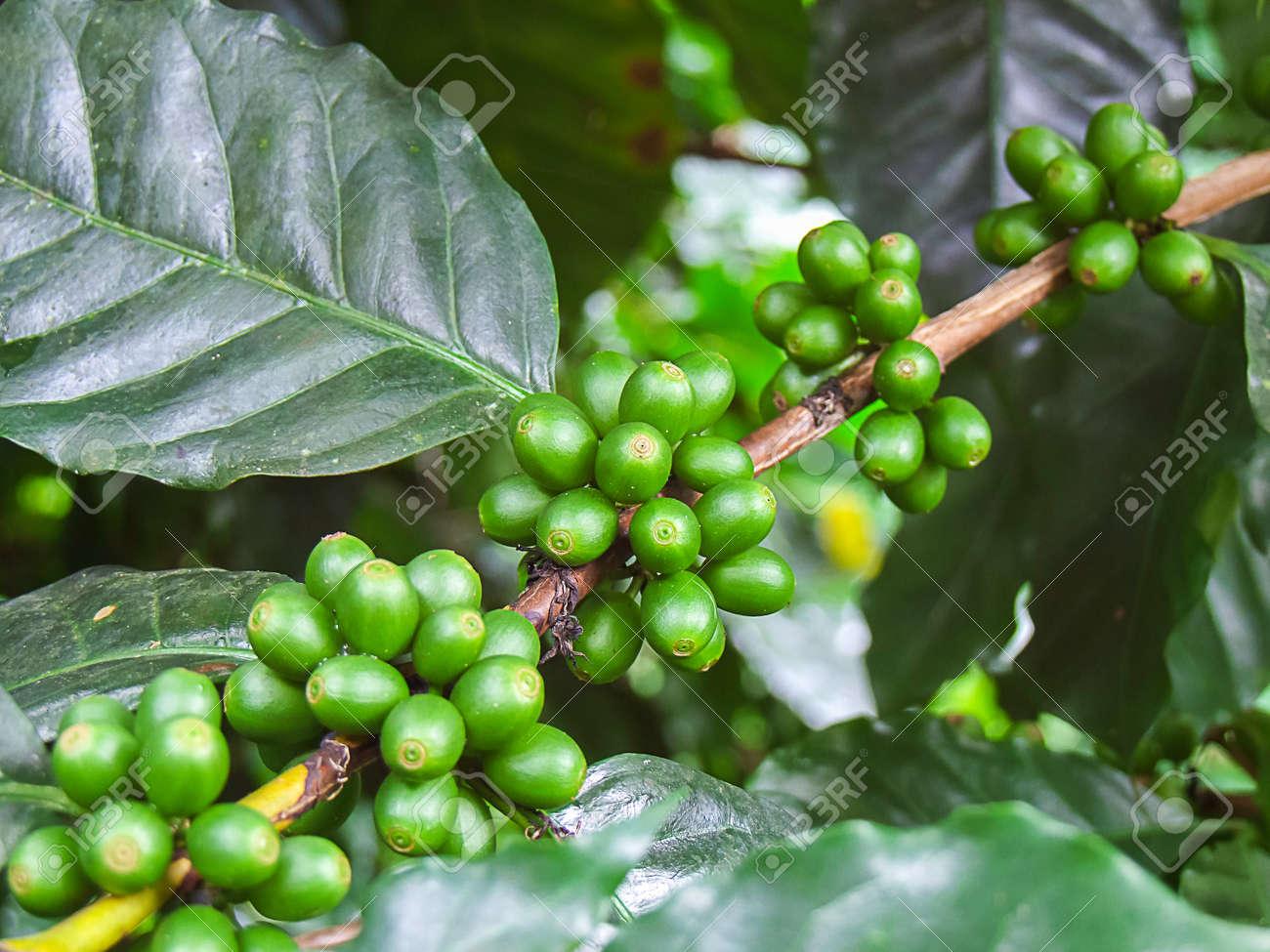 chicco di caffè verde italiano