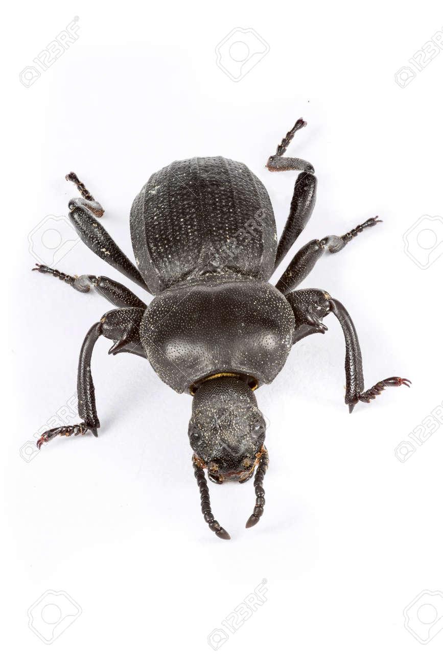 Pequeño Escarabajo Negro Sobre Fondo Blanco. Fotografía Macro. Fotos ...