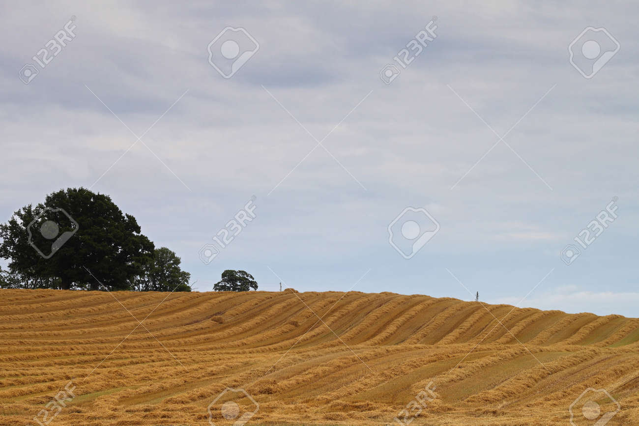 Yellow striped field with straw after the grain harvest Stock Photo - 15676520
