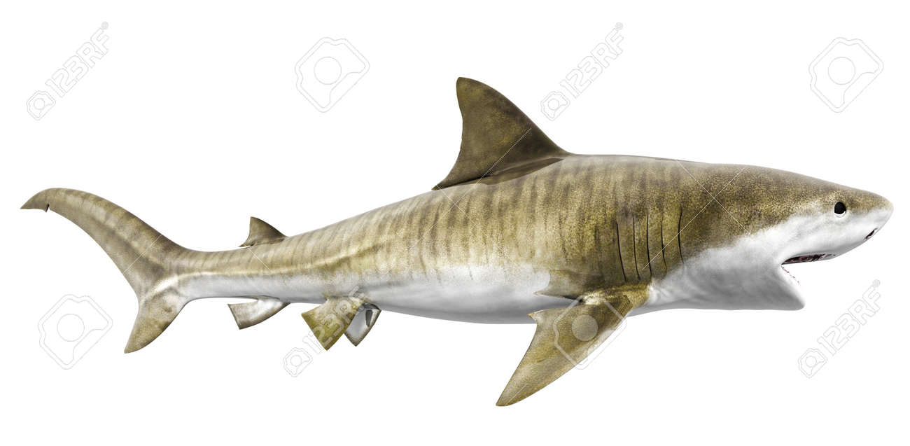 269 tiger shark stock illustrations cliparts and royalty free