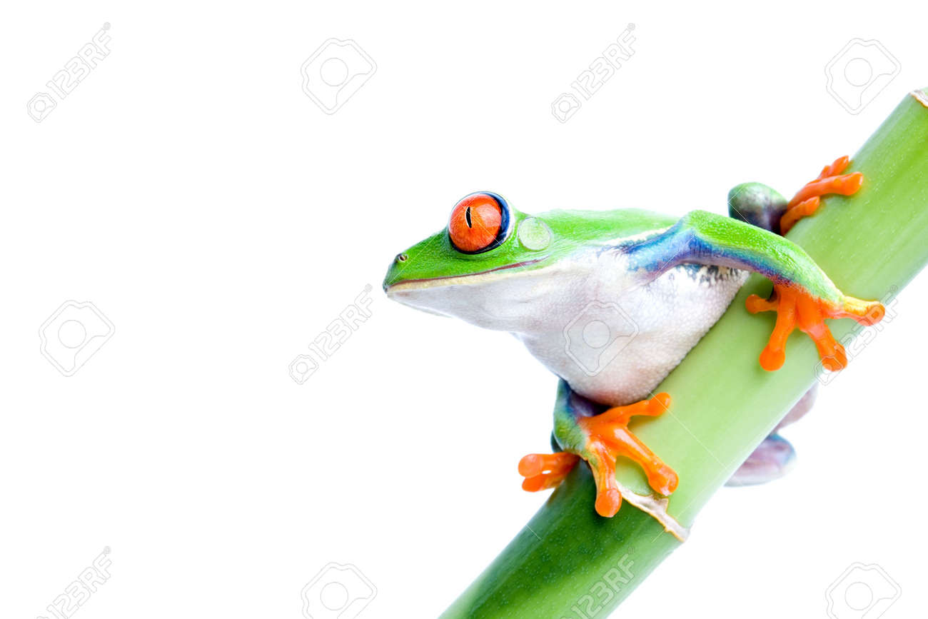 red eyed tree frog (Agalychnis callidryas) on green bamboo, macro isolated on white Stock Photo - 936861