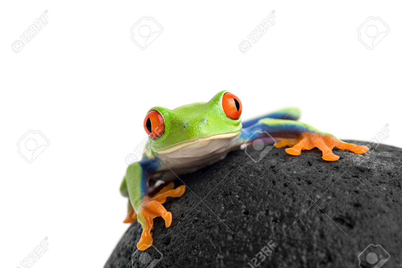 frog on a wet rock, a red-eyed tree frog (agalychnis callidryas) macro shot isolated on white Stock Photo - 1779914