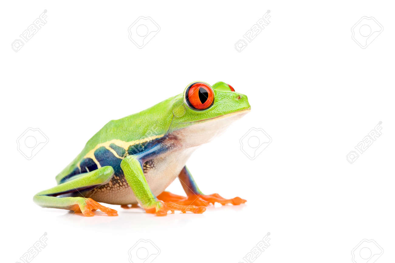 red-eyed tree frog (Agalychnis callidryas) closeup side view isolated on white Stock Photo - 2548779
