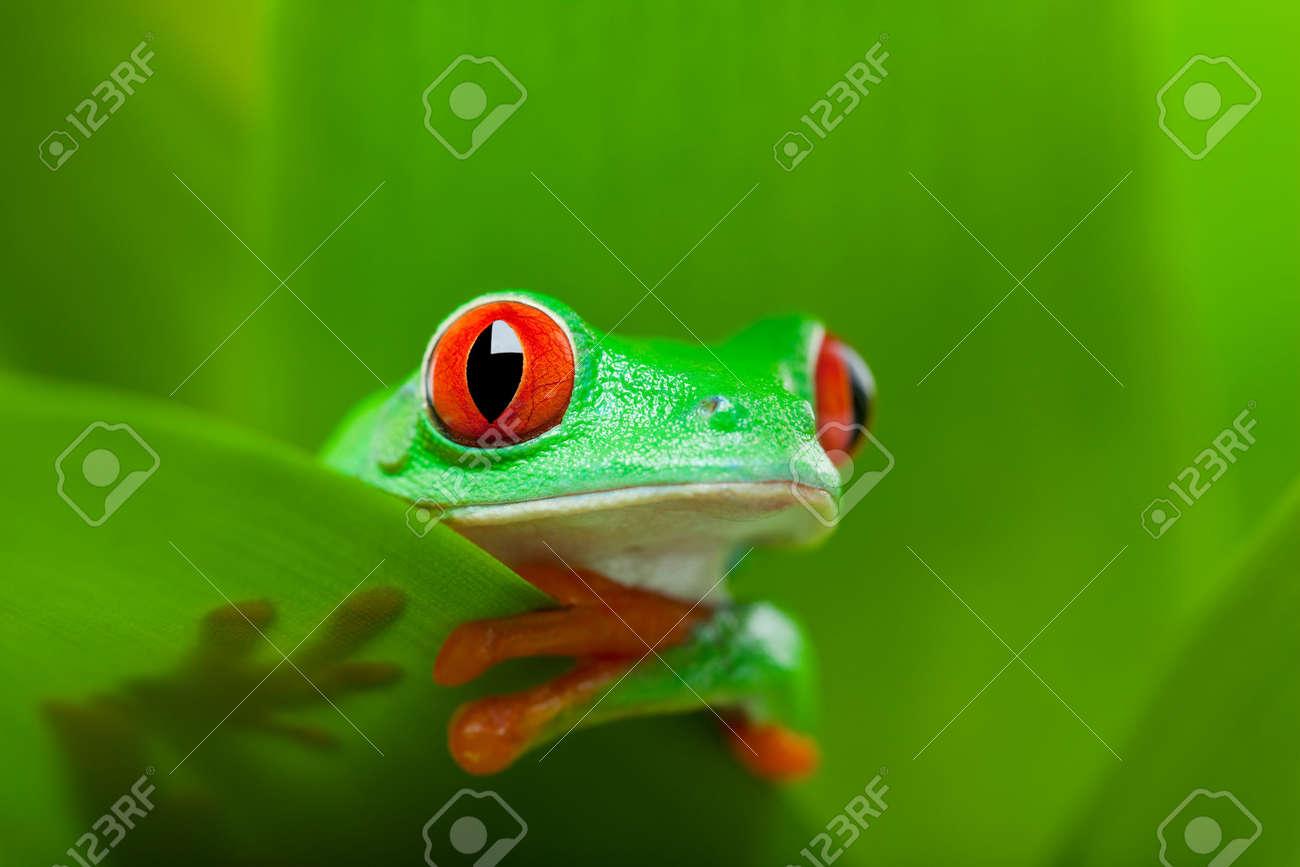 frog in a plant - red-eyed tree frog Agalychnis callidryas - 5150691