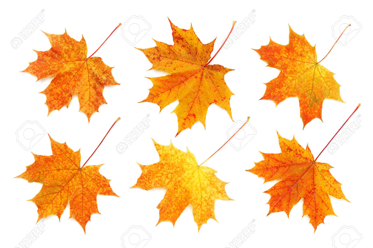 Pattern of six bright, autumn maple leaves isolated on white background. - 154261608