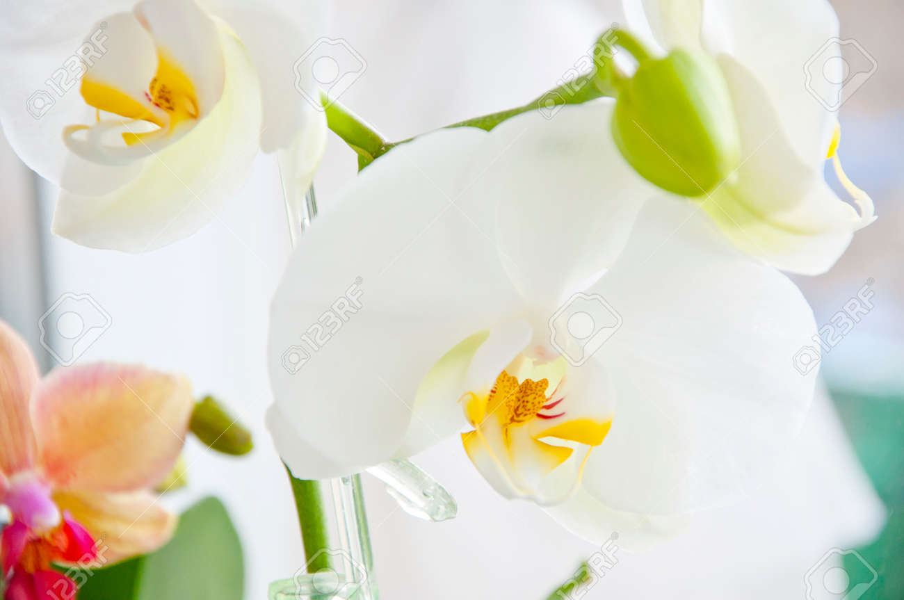 Beautiful Orchid Flower White And Beige Color With Yellow And