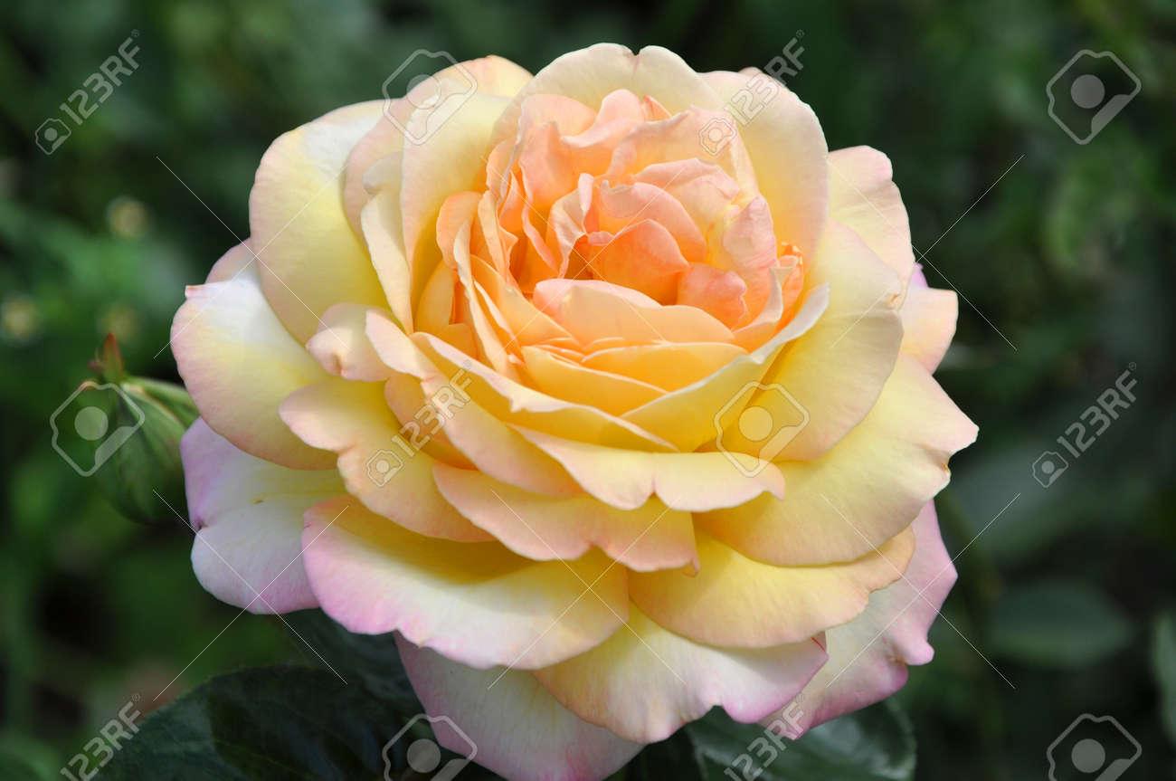 Colore Giallo Del Fiore Di Bella Rosa Selvatica Con Petali Su Verde ...