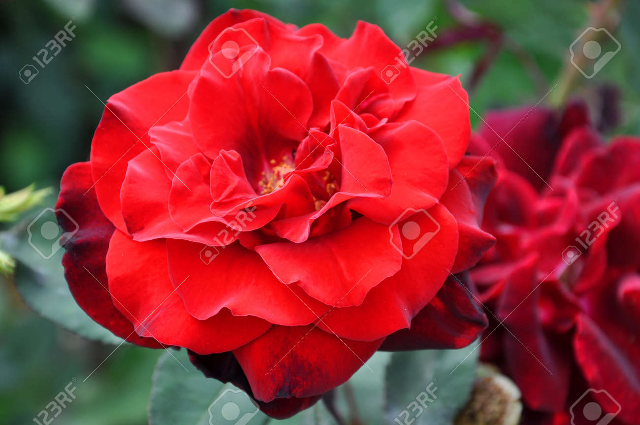 Beautiful Wild Rose Flower Red Color With Petals On Natural Green ...
