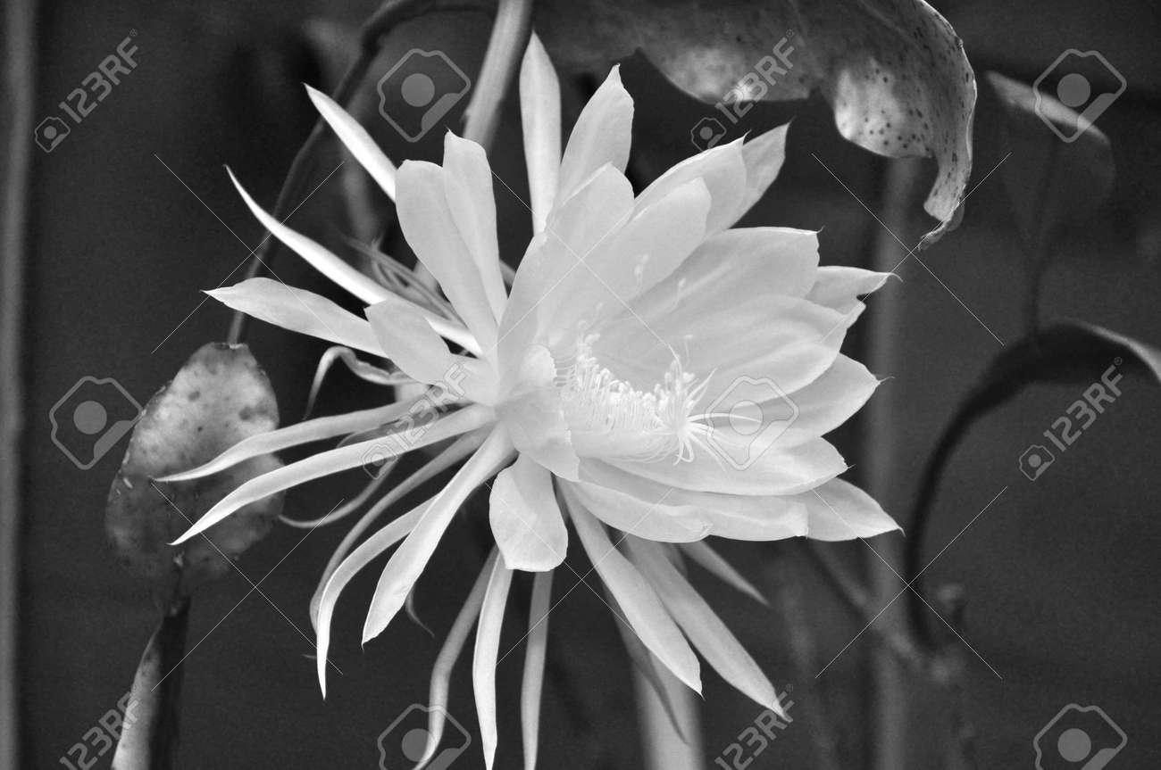 Macro White Flower Queen Of Night Epiphyllum Oxypetalum Nocturnal