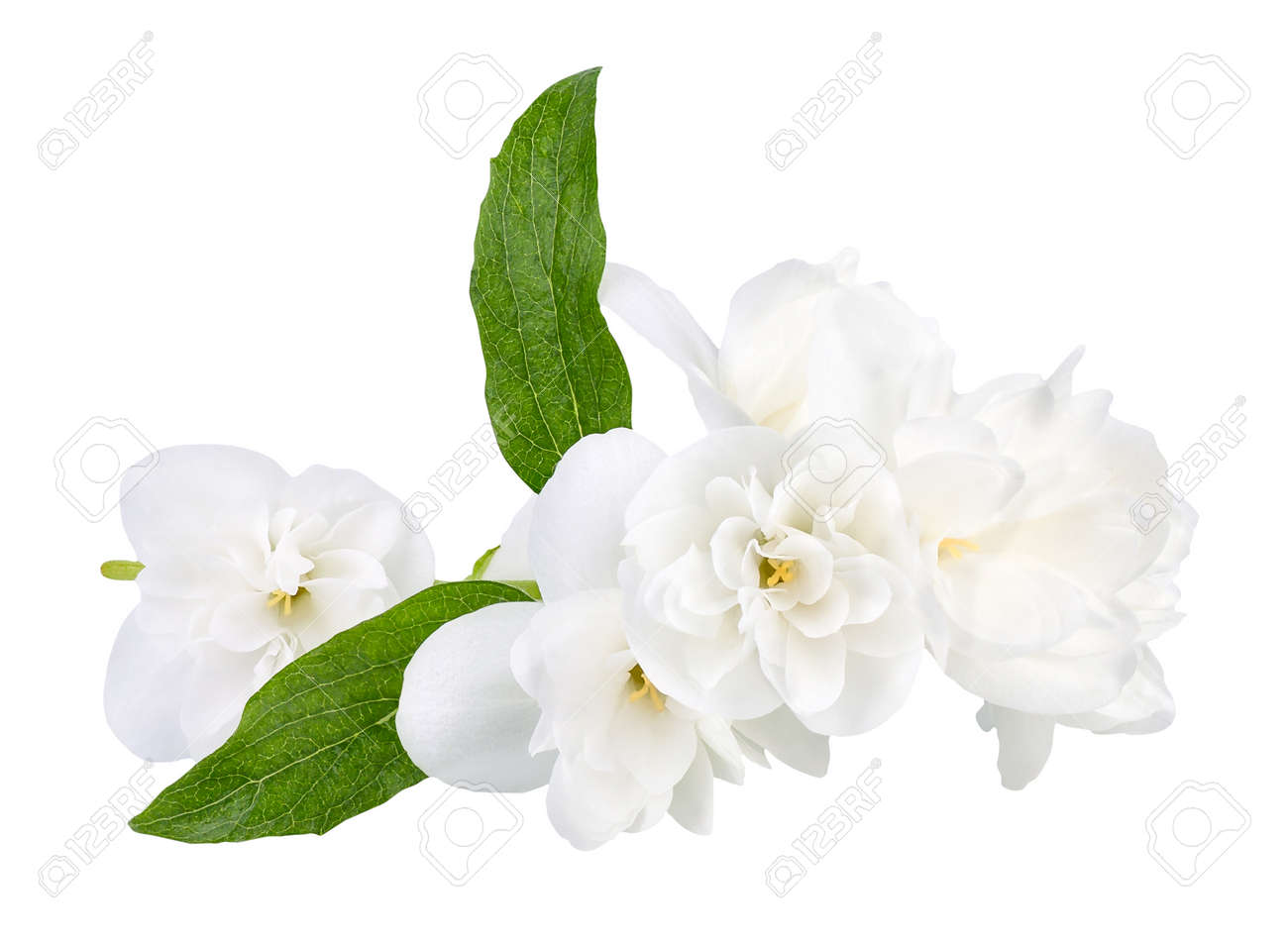 Branch Of Jasmine Flowers Isolated On White Background White