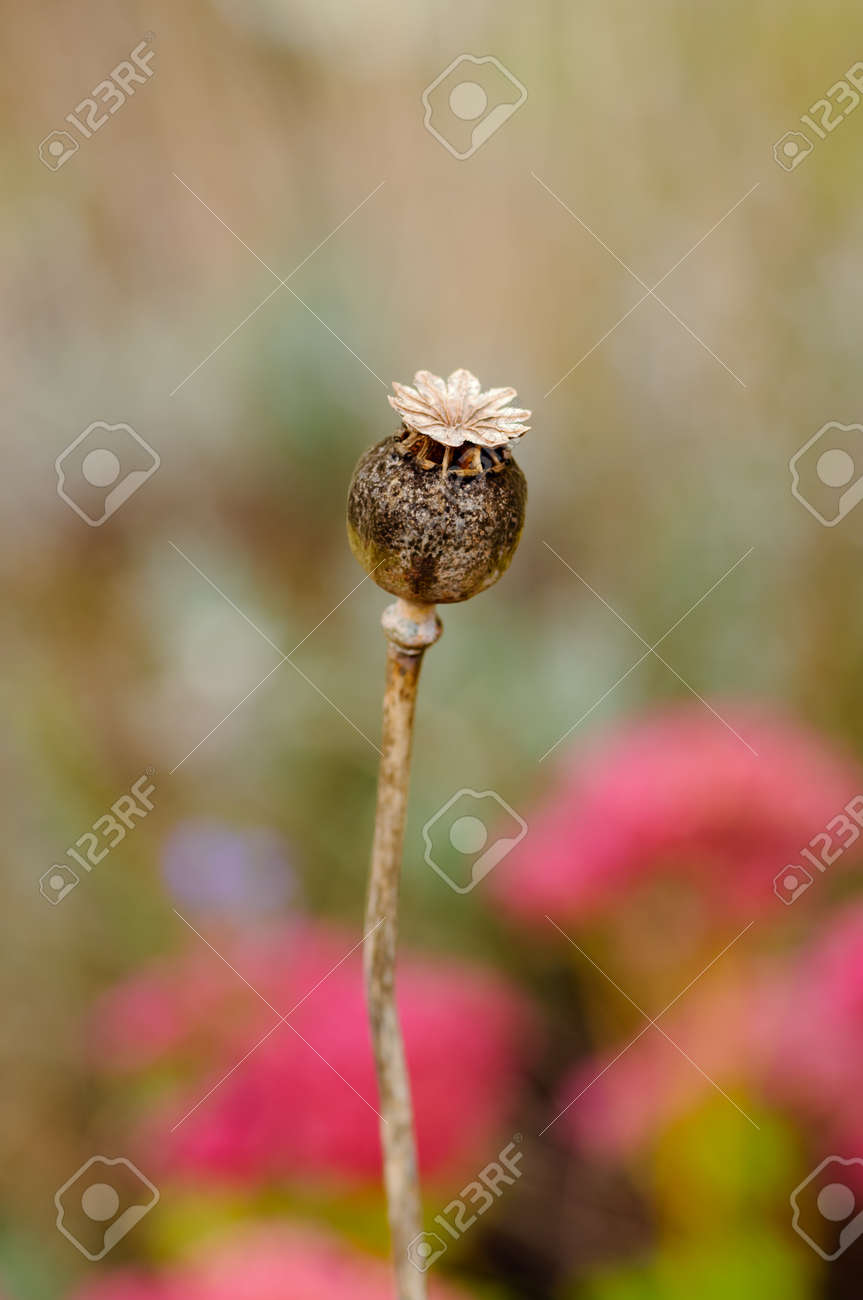 Dry Poppy Flower Stock Photo Picture And Royalty Free Image Image