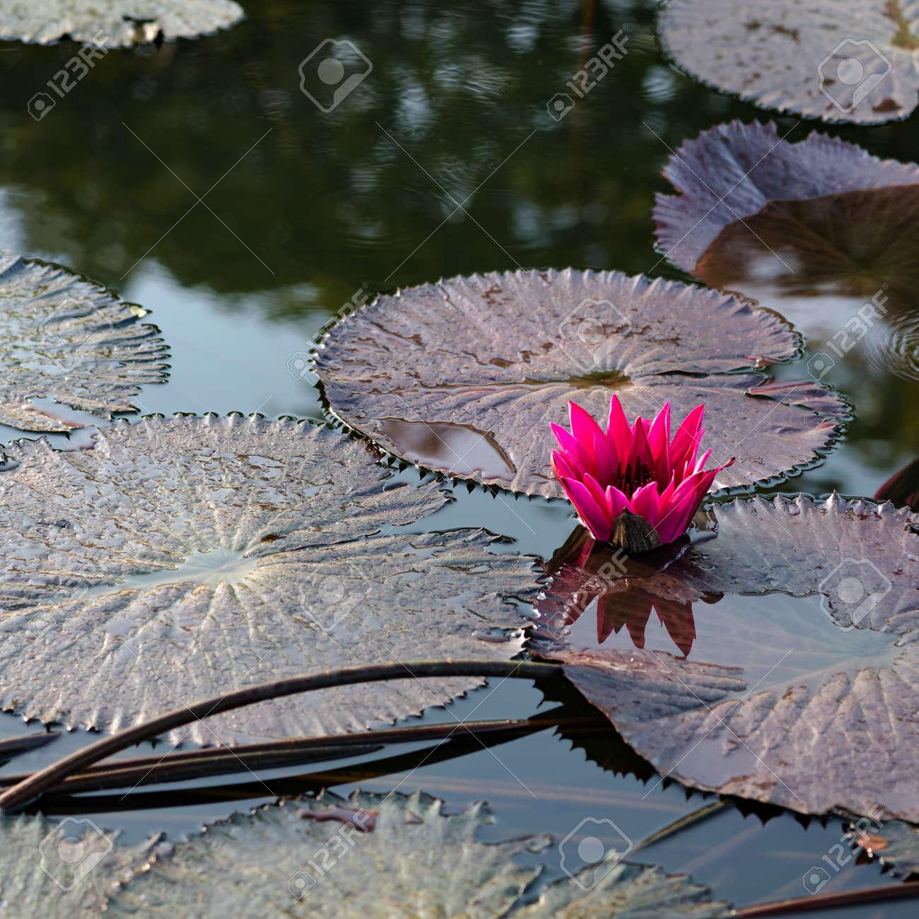 Single water lily lotus flower pond square composition stock photo single water lily lotus flower pond square composition stock photo 47560830 izmirmasajfo