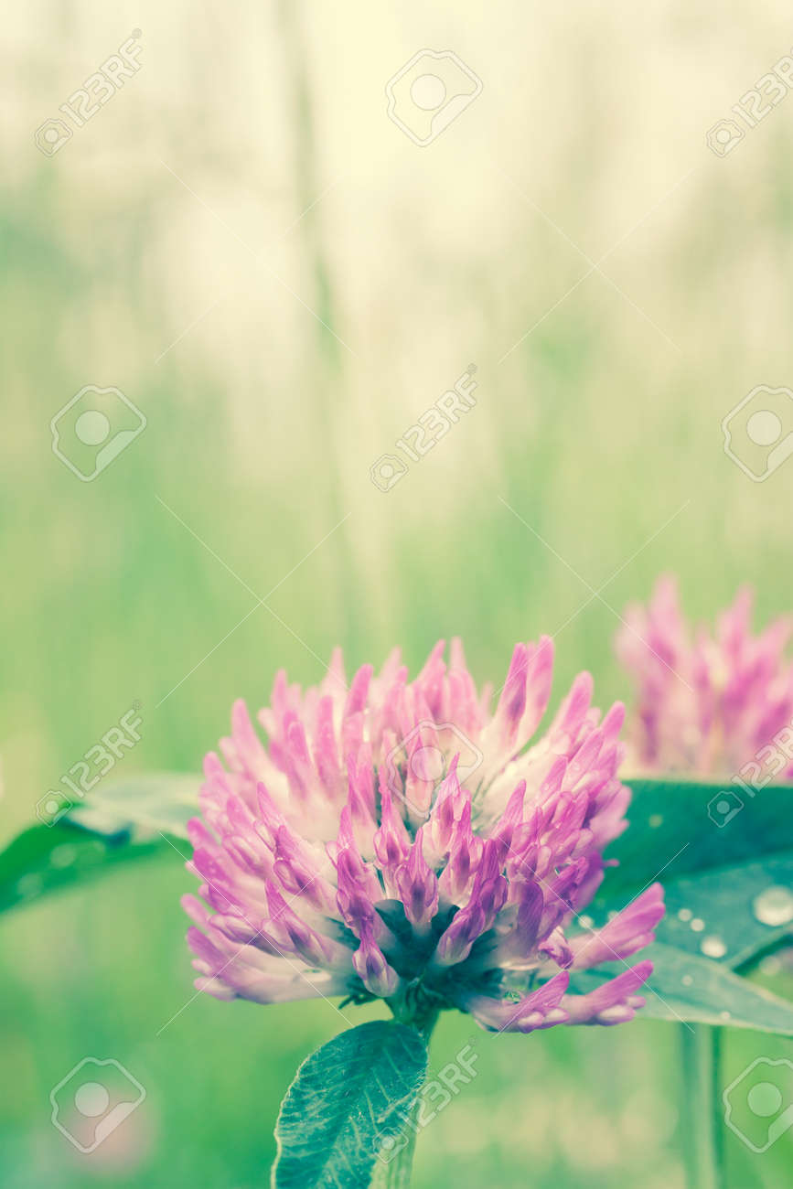 Close Up Of Beautiful Purple Clover Flower Stock Photo Picture And