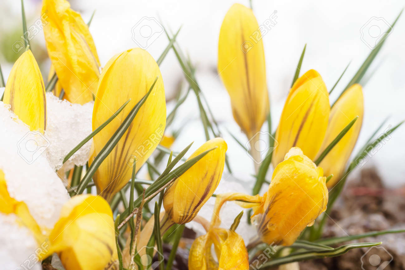 Yellow Crocus Flowers In White Snow Stock Photo Picture And Royalty