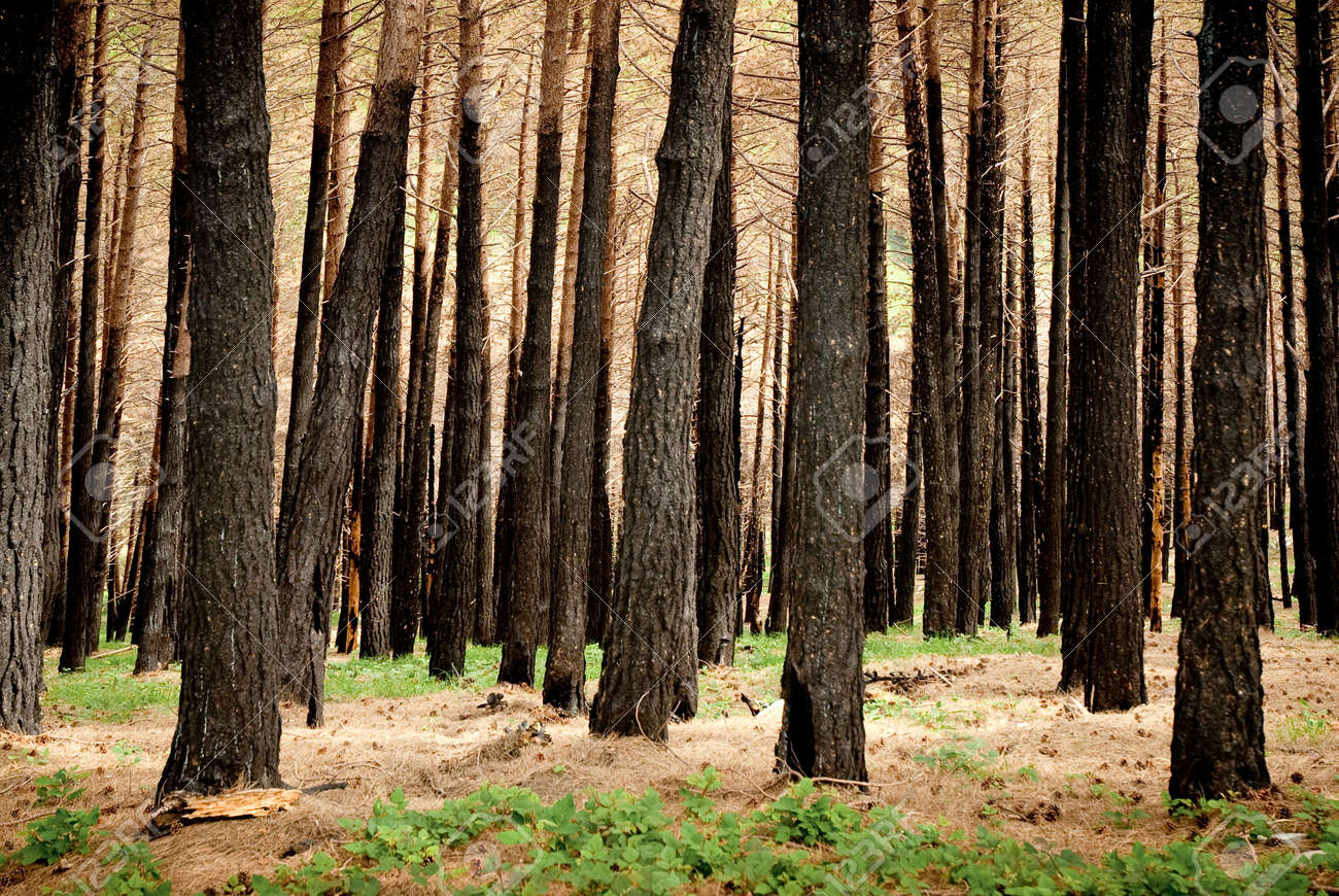 black trees in a burnt forest Stock Photo - 4838685