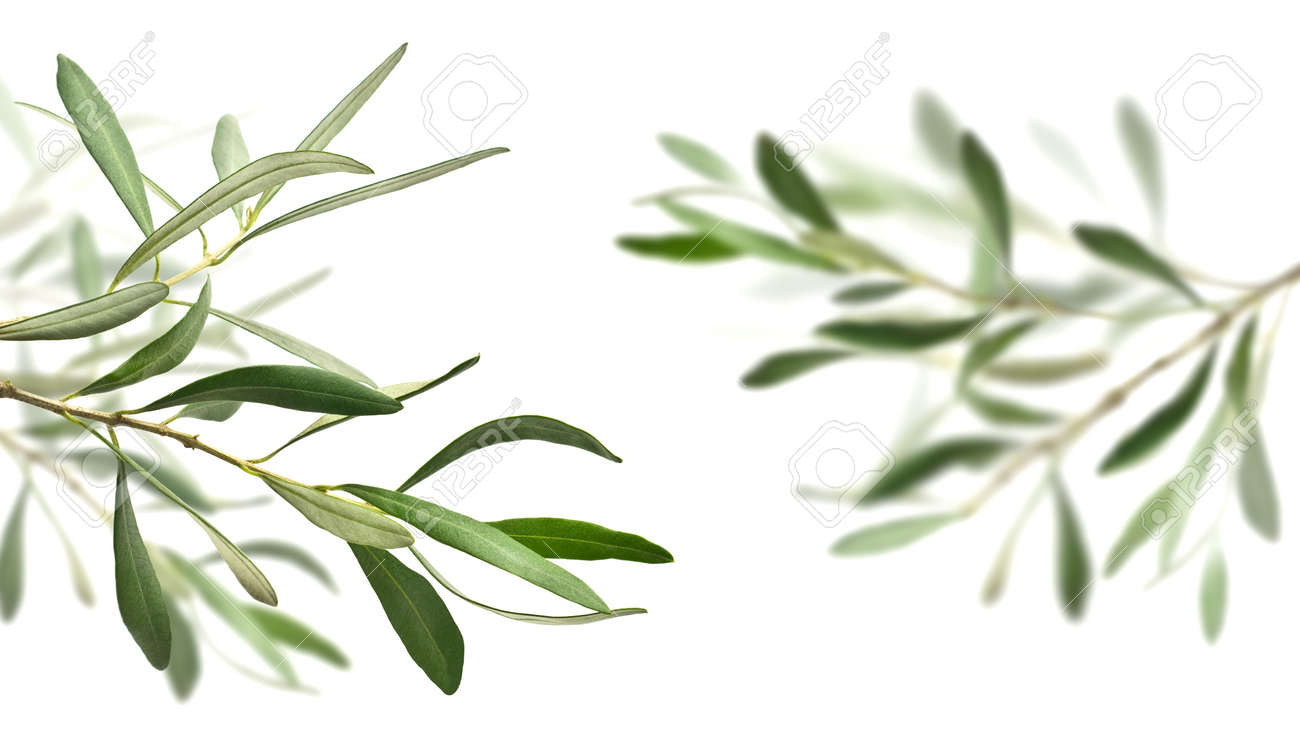 Olive Tree Branches Isolated Over White The Right One Is Completely