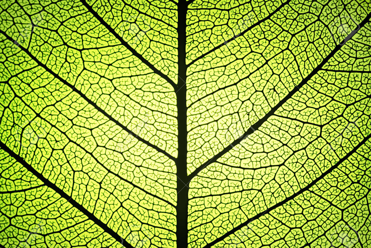 leaf detail showing ribs and veins in backlight Stock Photo - 12803225