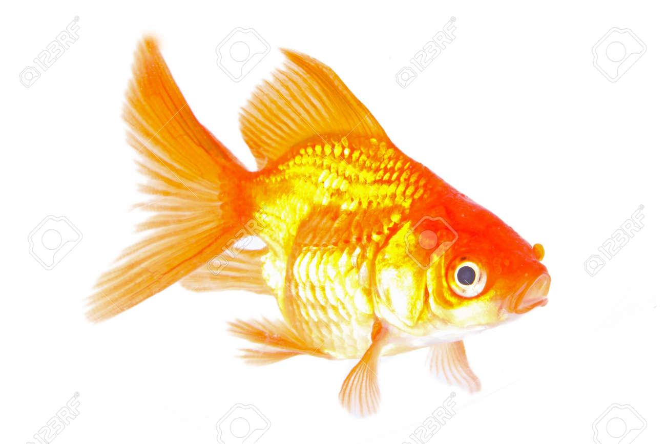Gold fish. Isolation on the white Stock Photo - 19320667