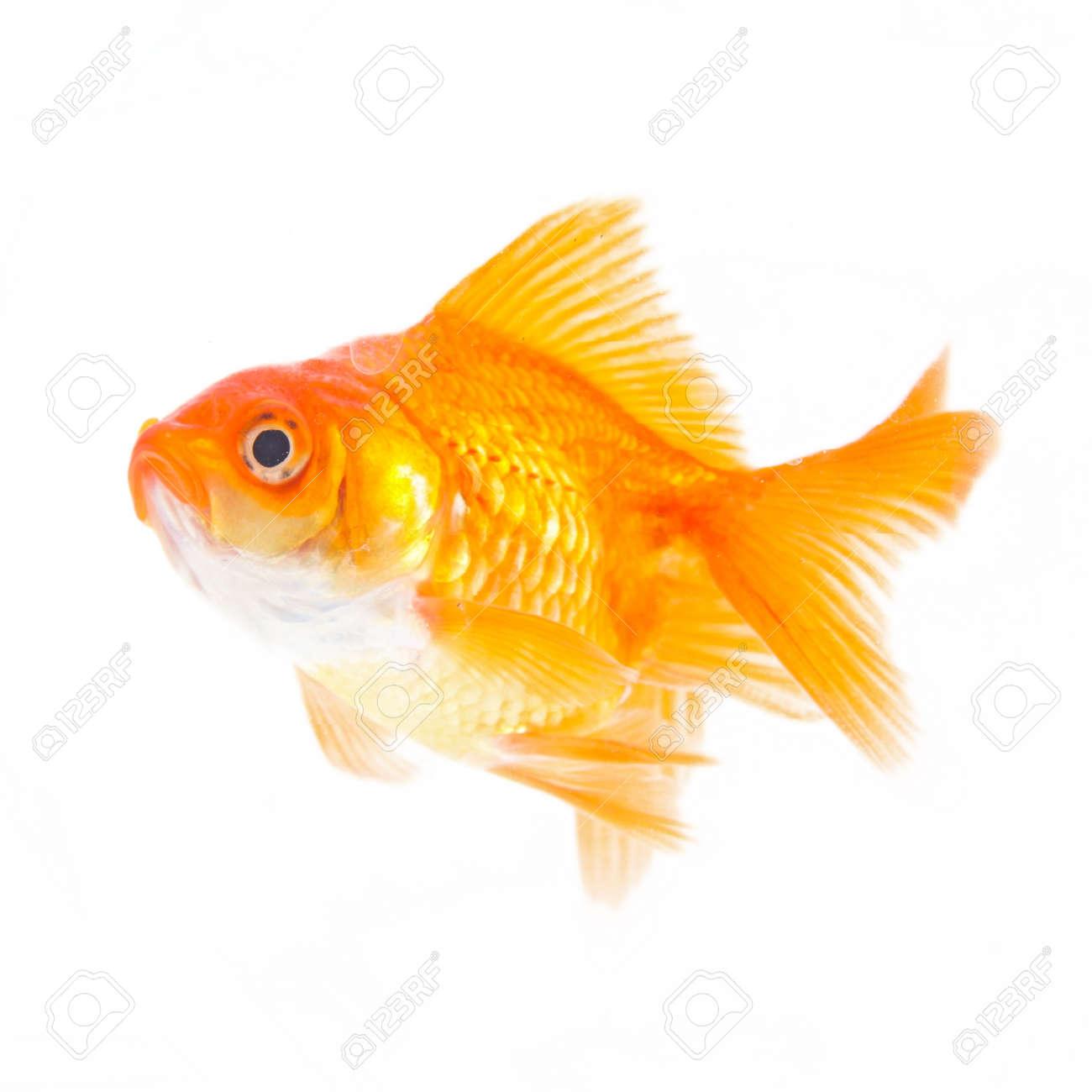 Gold fish. Isolation on the white Stock Photo - 19320684