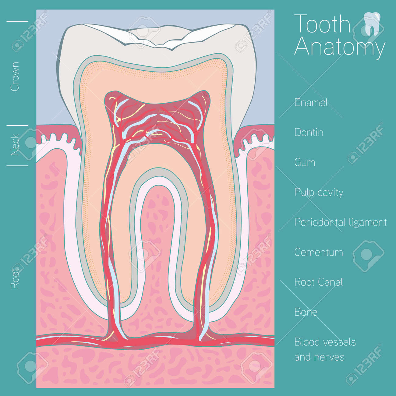Tooth Medical Anatomy With Words Royalty Free Cliparts, Vectors, And ...