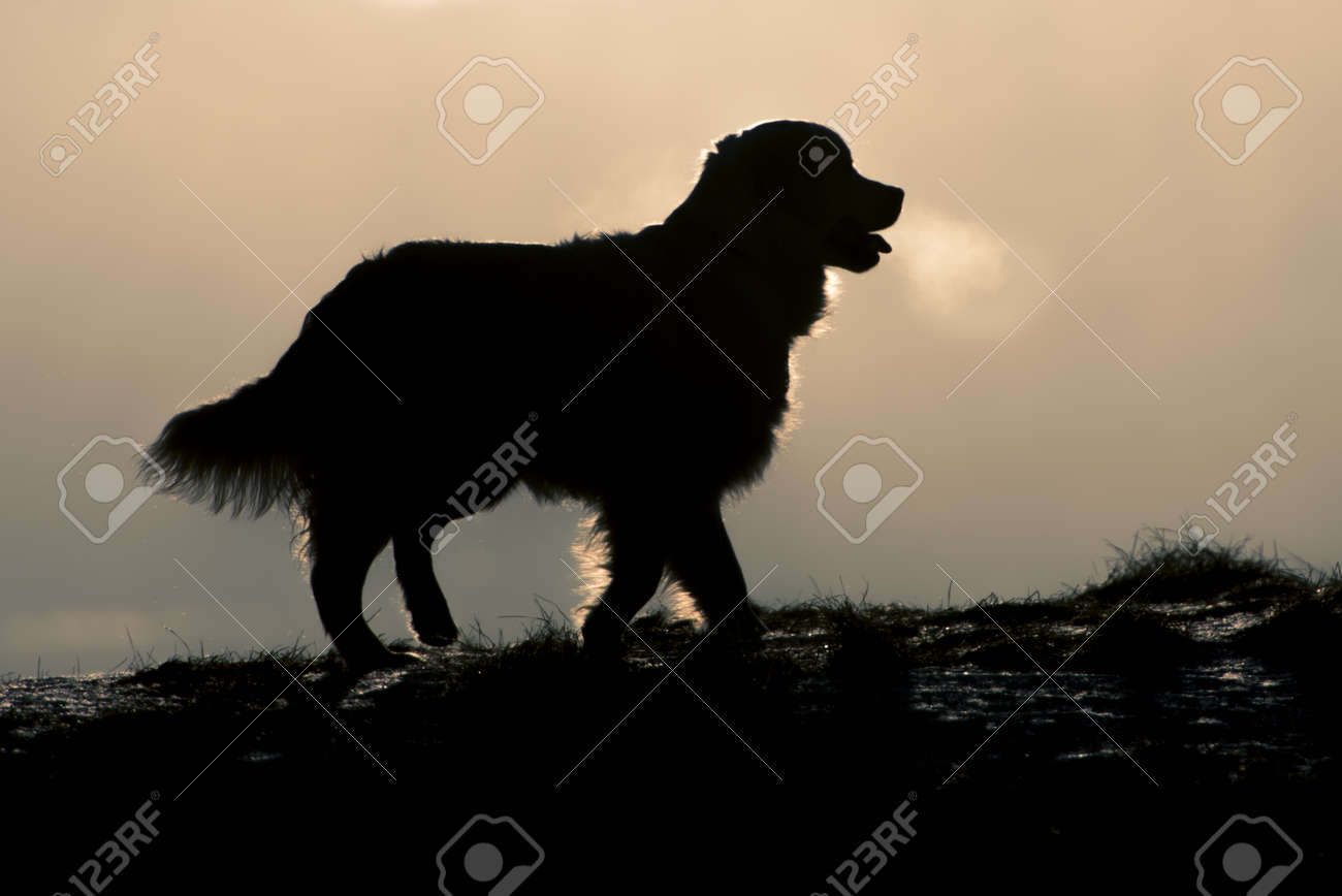 Golden Retriever Silhouette Stock Photo Picture And Royalty Free