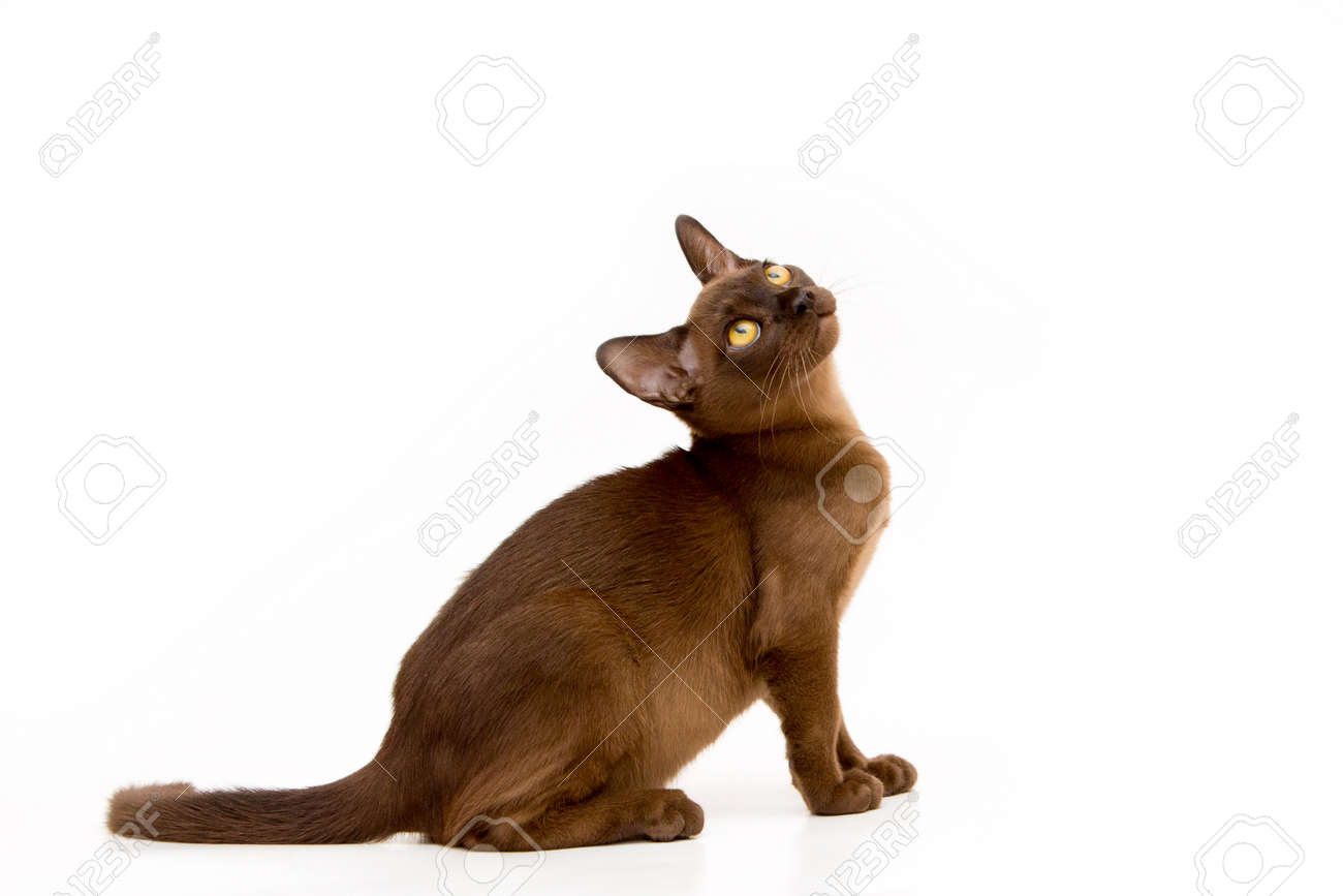 Brown burmese cat. Nice cute kitten. On a white background. Place to insert text. For advertising, banners and messages. For veterinary clinics, sales of feed and animal accessories. - 102931409