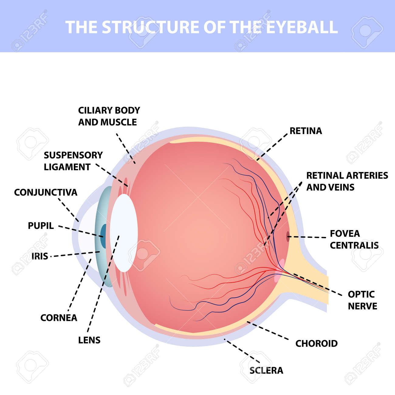 Human eye anatomy, designation, for poster or teaching material medical illustration - 152191325