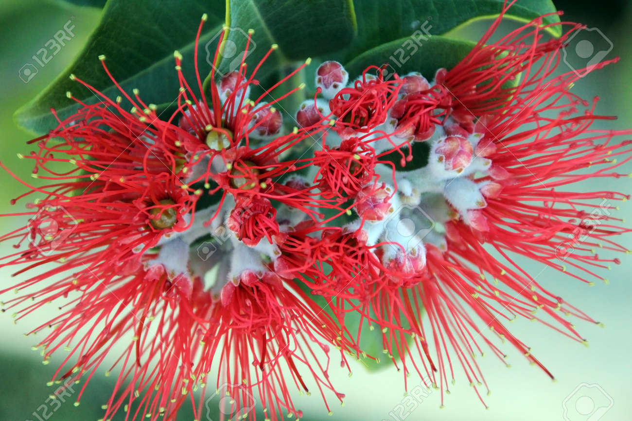 Flowers Of New Zealand Christmas Tree Metrosideros Species Stock