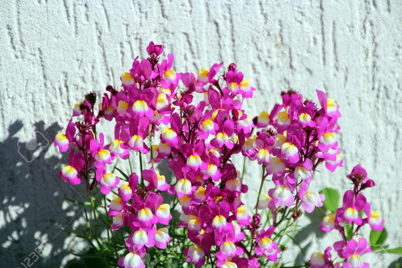 テクスチャの白い壁に咲くピンク...