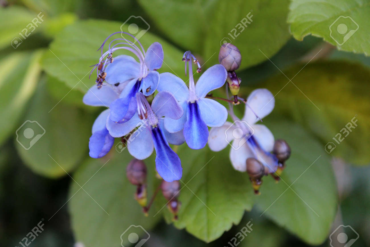 Top blue flowers bush yg78 roccommunity excellent blue butterfly bush clerodendrum ugadense flower in spring bloom sa67 izmirmasajfo