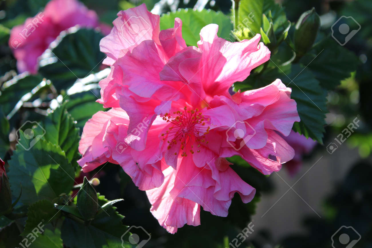 Double Pink Hibiscus Flower Ed S Rainbow In Full Bloom Stock Photo