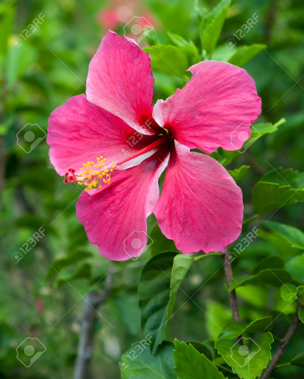 Interesting red hibiscus flowers with whisker like extensions interesting red hibiscus flowers with whisker like extensions and balls as part of the plant izmirmasajfo Choice Image
