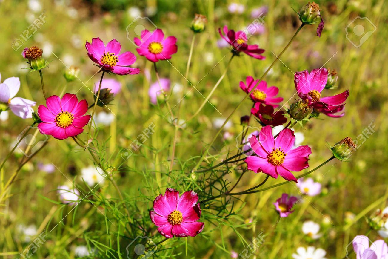 Pink wild flowers on green grass background stock photo picture and pink wild flowers on green grass background stock photo 73499091 mightylinksfo