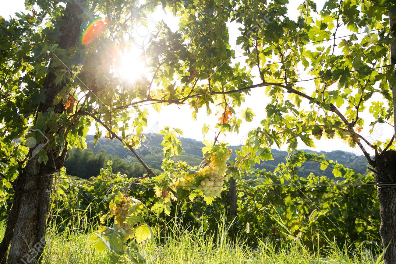 Summer hike in vineyards of Goriška Brda, Slovenia - 128912328