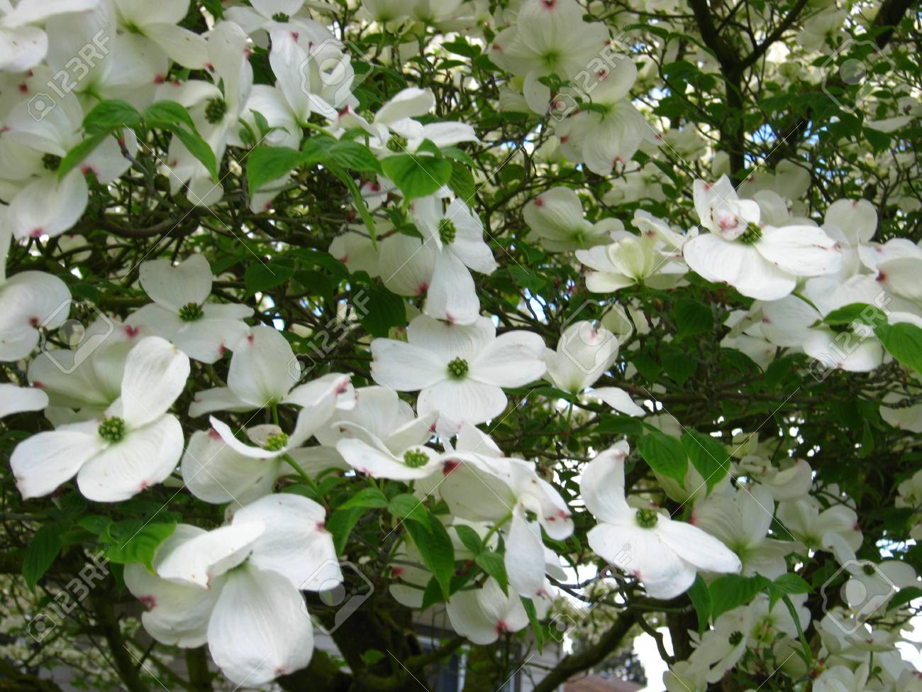 Masses Of White Dogwood Flowers Stock Photo Picture And Royalty