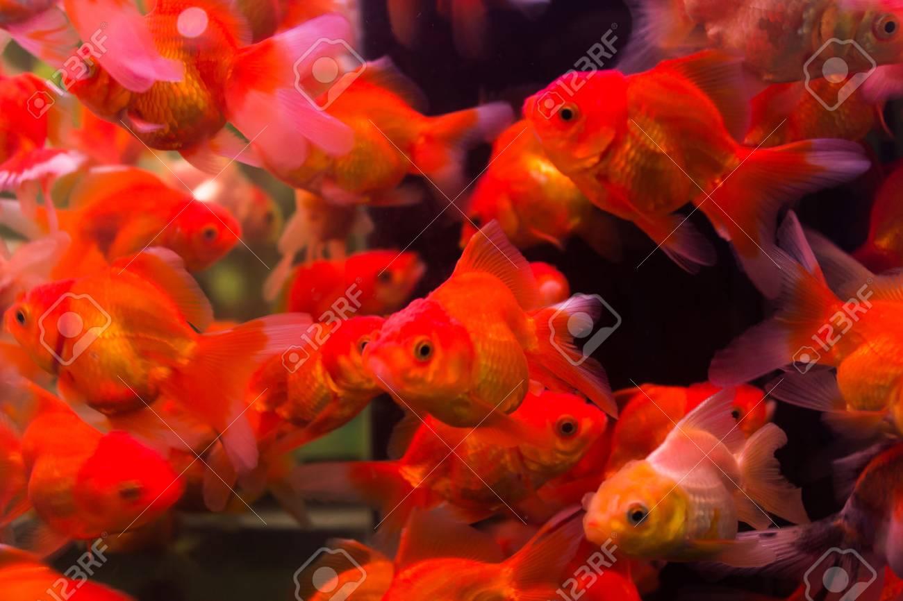 Goldfish Swim In Aquarium Box.Saturation Color By Fancy Lighting ...