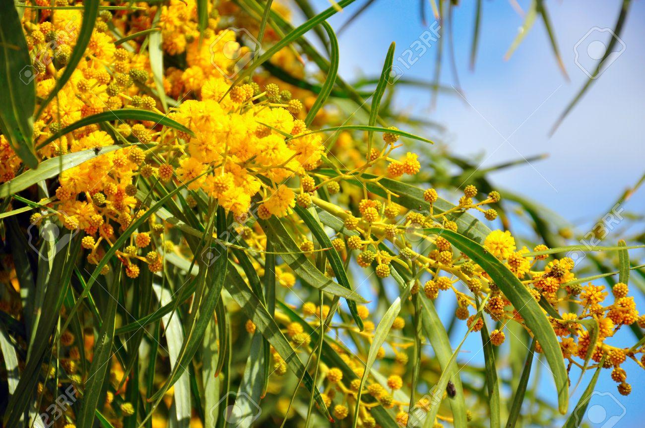 Close Up Of The Acacia Pycnantha Golden Wattle Native Floral