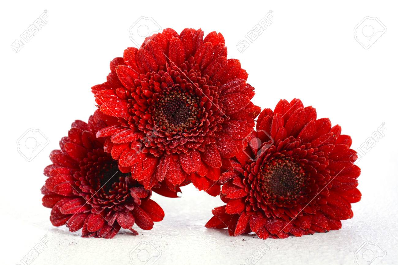 Bright Red Gerbera Daisy Flowers On Rustic White Shabby Chic.. Stock ...