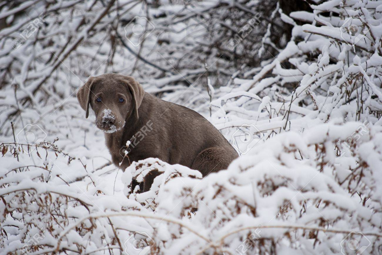 Rare silver lab puppy poses in the snowy bushes