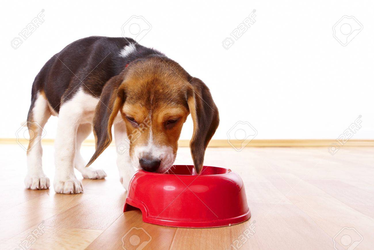 Cute Beagle Puppy Eating From A Dish Stock Photo Picture And Royalty Free Image Image 4231966