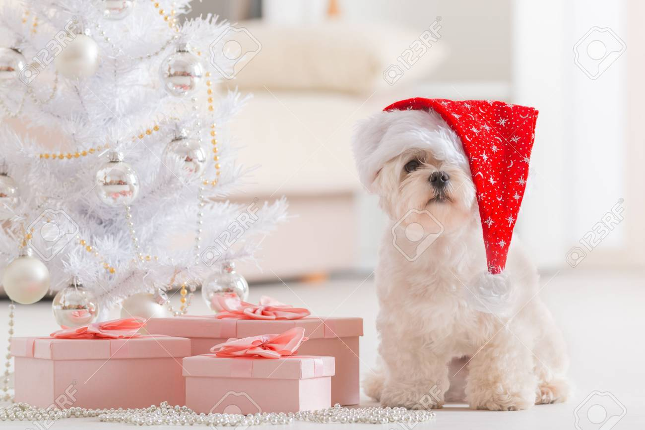 Cute Little Dog Maltese Sitting With Gifts Near Christmas Tree ...
