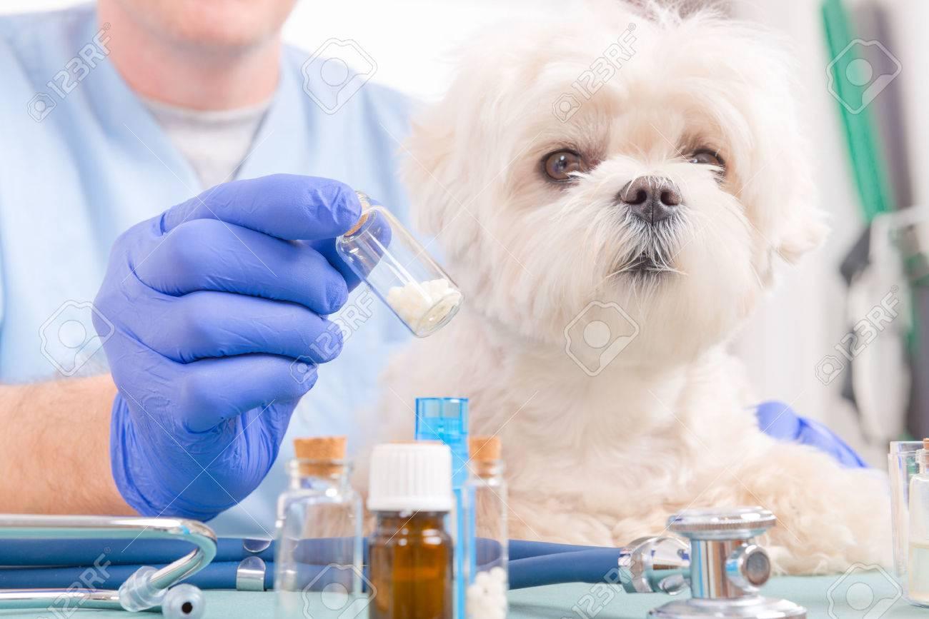 Vet holding homeopathic globules for a little maltese dog - 54602226