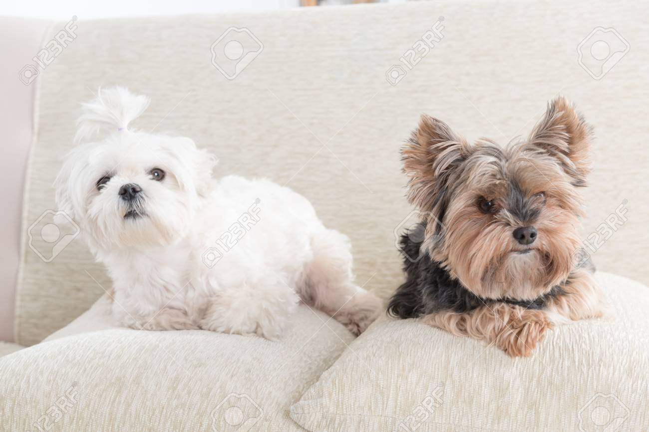 Two Cute Dogs White Maltese And Yorkshire Terrier On A Sofa At ...