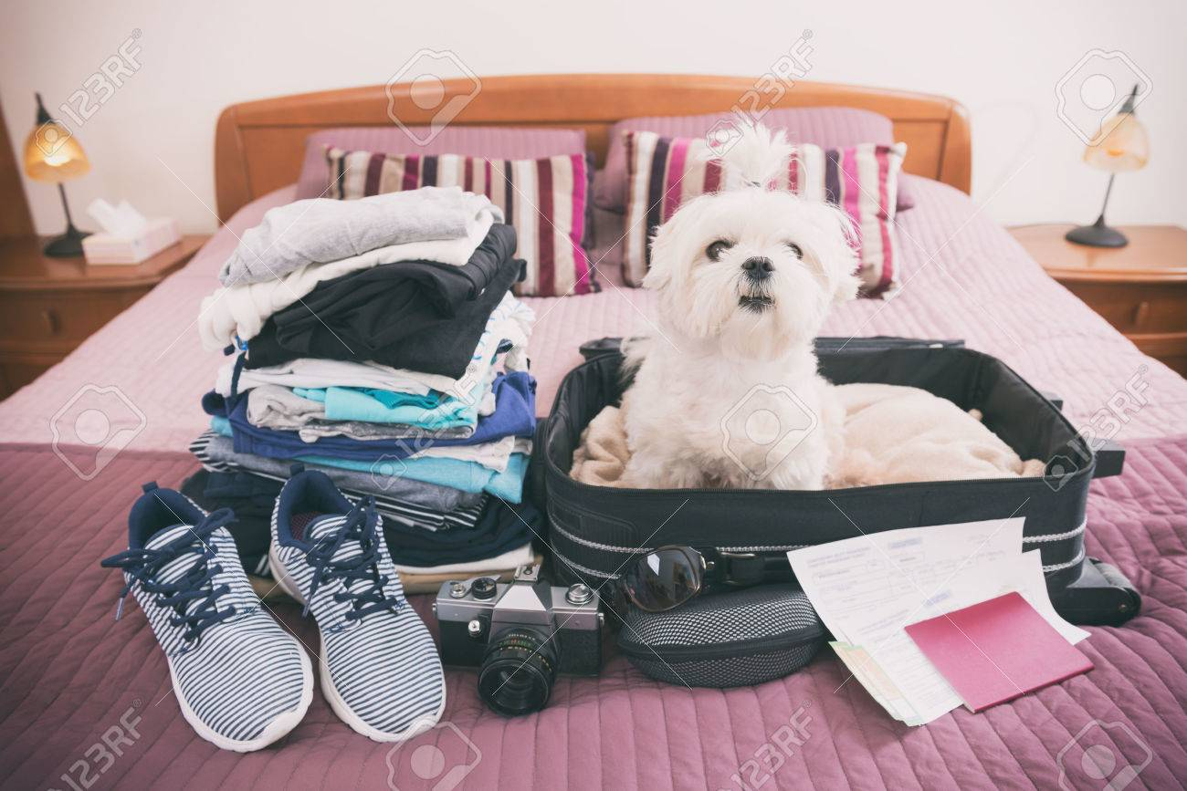 Small dog maltese sitting in the suitcase or bag wearing sunglasses and waiting for a trip - 56416690